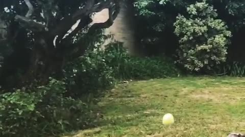 Scruffy Grey Dog Misses Ball Catch