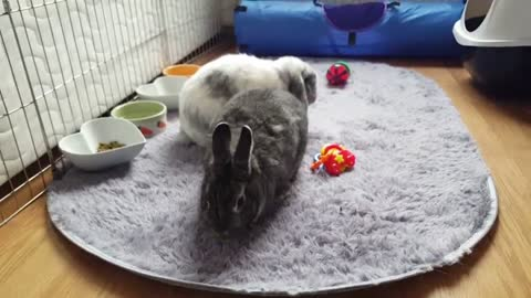 Bunny does tricks just like a dog!