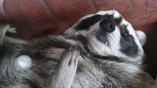 Raccoon is curious about the taste of golf ball.