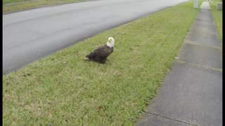 American Bald Eagle Eats Cat - Video