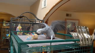 Tara the African Grey parrot playing - Video