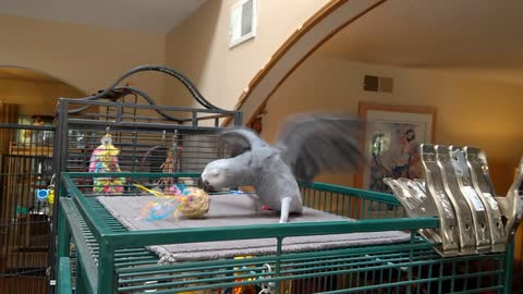 Tara the African Grey parrot playing