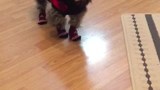 Dog wears socks for first time - Video