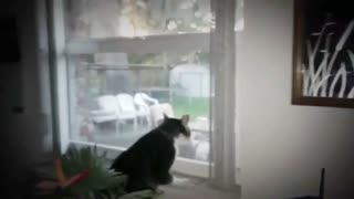 Cat Has Feud With Neighbor Cat - Video