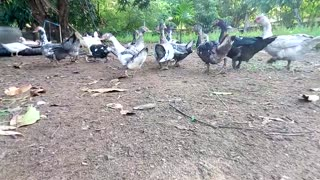 Ducklings follow their momther in farm