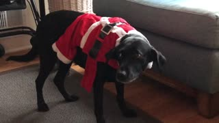 Embarrassed dog totally betrayed by Christmas outfit