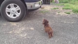 Dog guards family from his reflection - Video