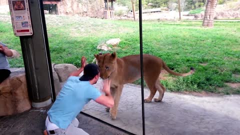 Man has showdown with lionesses at the zoo
