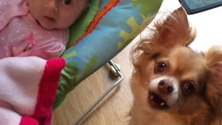Chihuahua bounces newborn baby in her bouncy chair - Video