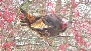 Wild turkeys fly up to eat berries from tree - Video