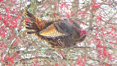 Wild turkeys fly up to eat berries from tree