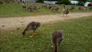 In The Middle Of A Gaggle Of Geese - Video