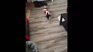 Dog auditions to pull Santa's sleigh, instantly fails - Video