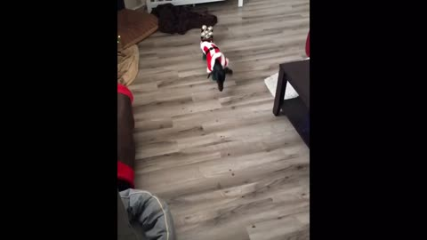 Dog auditions to pull Santa's sleigh, instantly fails