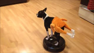 Boston Terrier rides Roomba in a turkey costume - Video