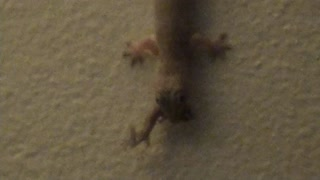 Baby Gecko Makes A Big Mistake - Video