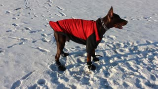 Doberman not a fan of his winter gear - Video