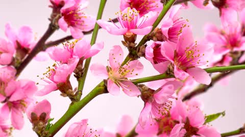 Pink flowers blossom on the branches