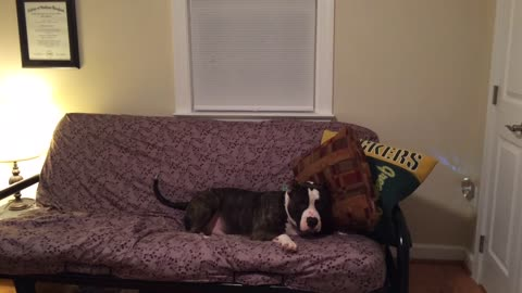 Dog doesn't like pillows