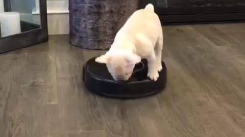 This Frenchie Riding On A Vacuum Will Brighten Your Day