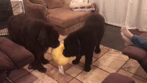 Two Newfoundlands engage in precious tug-of-war