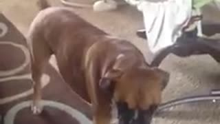 Boxer prevents mom from playing with her baby
