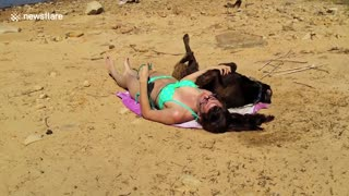 Ecstatic Chocolate Labrador Misses The Point Of Sunbathing - Video