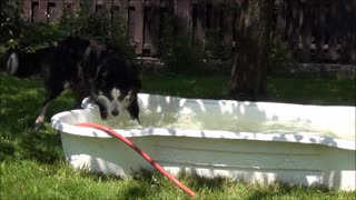 Funny and crazy Border Collie is playing with the water hose