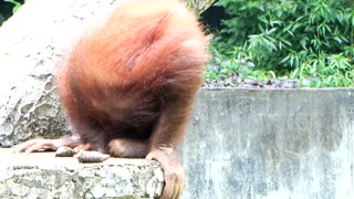 Baby orangutan drinks her own urine - Video