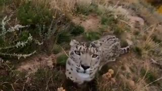 Great leopard moving in front of the camera