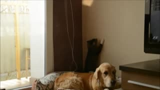 Kitten chases reflection all over patient dog