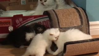 clean up time ! Persian kittens and mom - Video