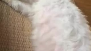 funny cats sleeping - white cat sleeping in a funny - Video