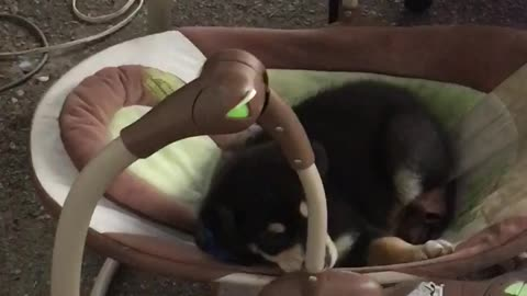 Puppy in a baby swing