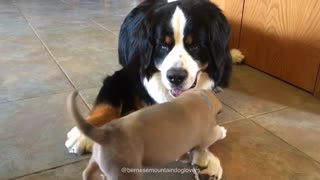 Bernese Mountain Dog preciously befriends 4-week-old puppy - Video