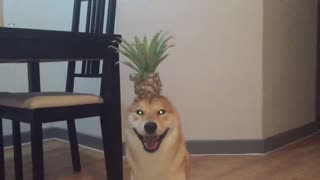 Peanapple head shiba inu - Video
