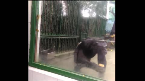 Chimpanzee eats bread with water, just like humans