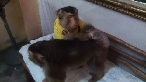 Caring monkey pampers his wife