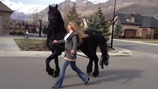 Friesian Stallion enjoys stroll down the street