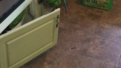 Monkey parrot trying to scale kitchen cabinets