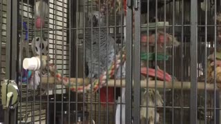 Parrot pulls off perfect impression of barking dog - Video
