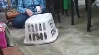 Cockatoo learns how to drive basket