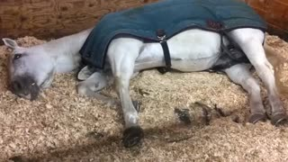 Horse Running In Her Sleep