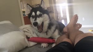 Husky puppy playfully taunts owner with toy - Video