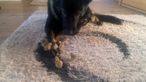 Caring German Shepherd gently watches over baby quails
