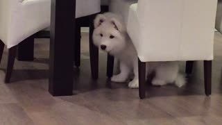 Samoyed puppy extremely intrigued by piano