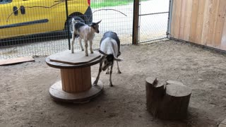 Mama goat spins her kid on Merry-GOAT-Round!