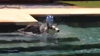 Husky puppy's first time swimming - Video