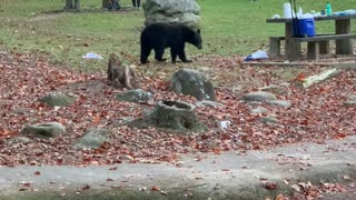 Bear Cub Swipes Cooler