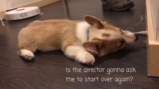 Corgi puppy plays with spring door stop
